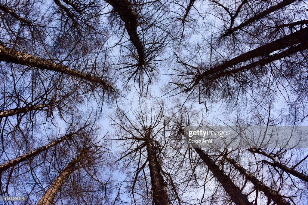 Looking up at trees in winter : Stock Photo
