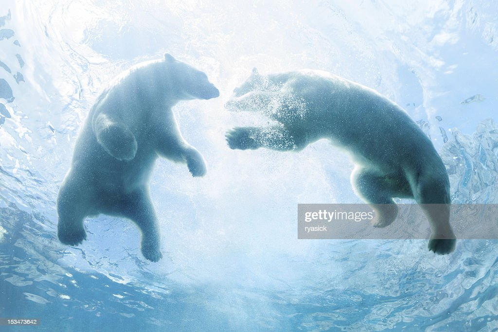 Looking Up at Two Polar Bear Cubs Playing In Water : Stockfoto