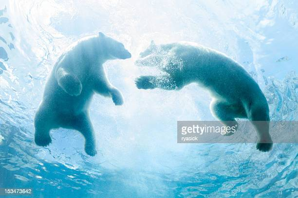 looking up at two polar bear cubs playing in water - polar bear stock pictures, royalty-free photos & images