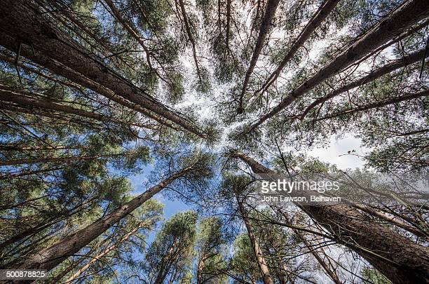 Looking up in a pine forest, East Lothian