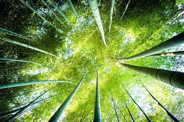 Looking Up In The Bamboo Grove Wall Art