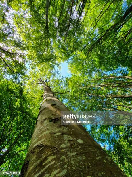 looking up in the forest - cima di albero foto e immagini stock