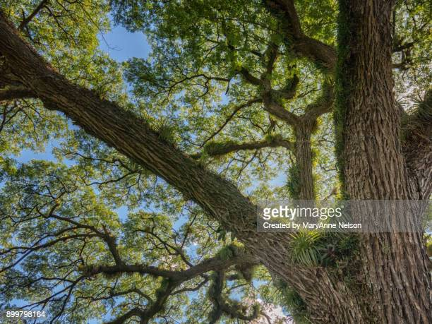 Looking Up into a Samand Tree