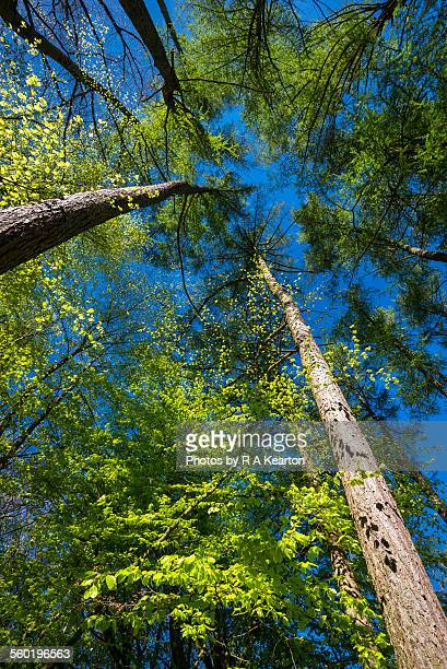 looking up into a spring forest to the blue sky - european larch stock pictures, royalty-free photos & images