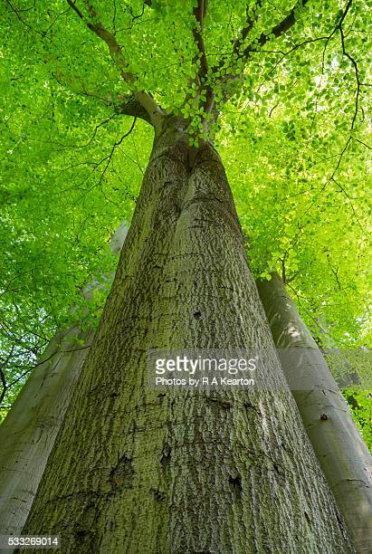 Looking up into tall Beech trees