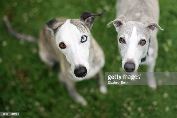 looking up. - whippet stock pictures, royalty-free photos & images