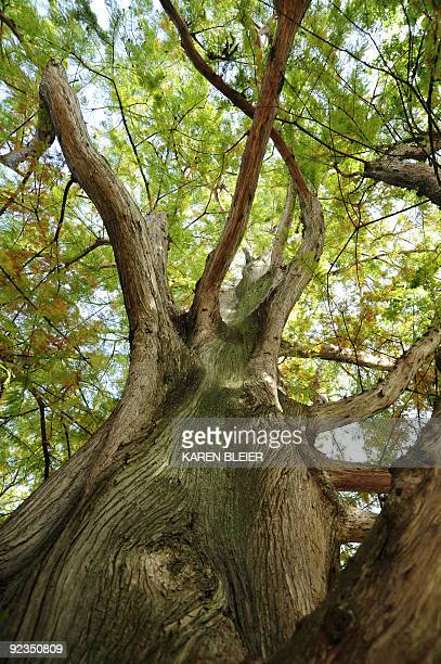 Looking up the trunk of a bald cypress tree in Lafayette Park on October 26 2009 in Washington DC AFP PHOTO/Karen BLEIER