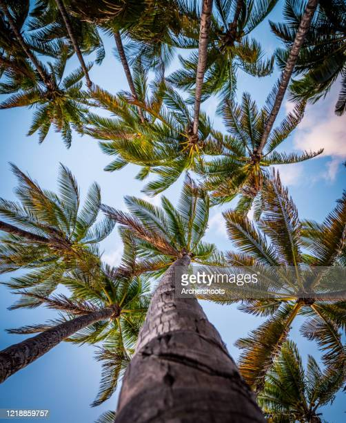 looking up the trunks of tropical palm trees - maui stock pictures, royalty-free photos & images