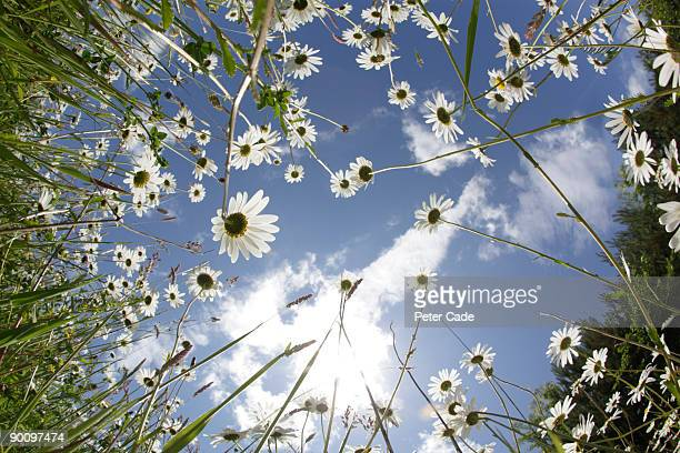 looking up through daisies to a blue sky