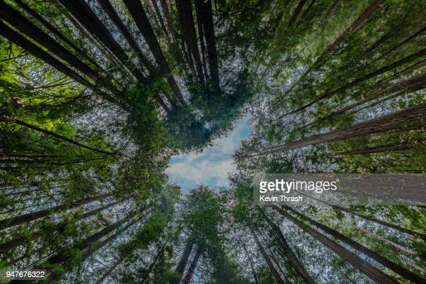 looking up through muir woods redwood trees - muir woods stock photos and pictures
