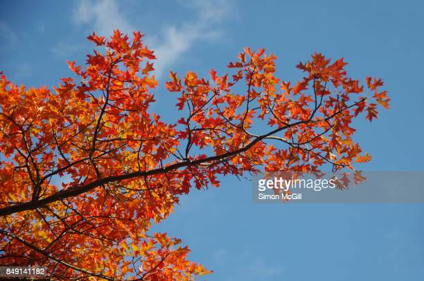 Looking up through the branches of a young red oak tree during autumn in Canberra, Australian Capital Territory, Australia