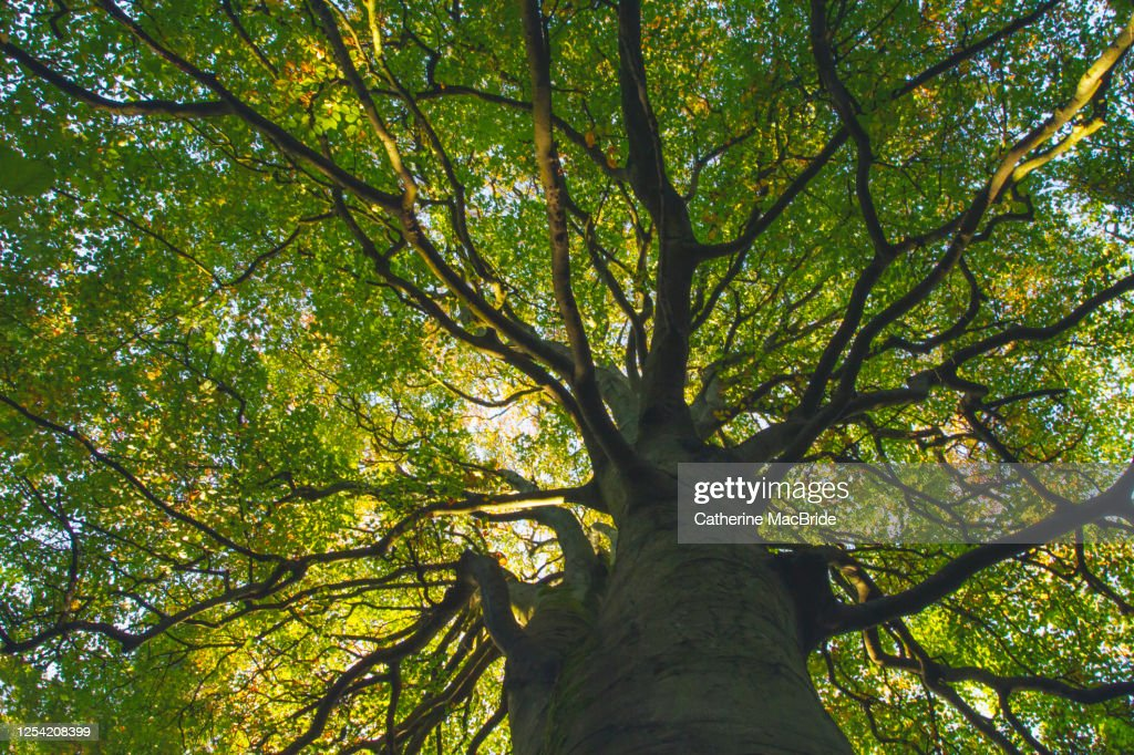Looking up through the intricate branches of a large tree full of leaves : Stock Photo