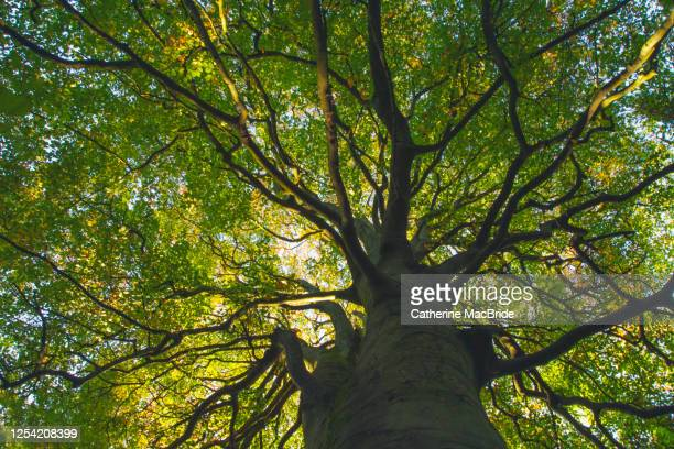 looking up through the intricate branches of a large tree full of leaves - catherine macbride stock pictures, royalty-free photos & images