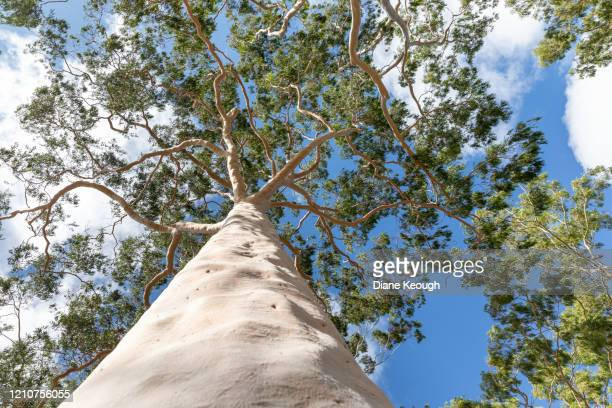 looking up to the canopy of this majestic gum tree - eucalyptus tree stock pictures, royalty-free photos & images