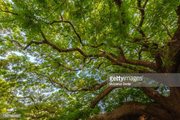 looking up view of the old and big tree - ginkgo tree stock pictures, royalty-free photos & images