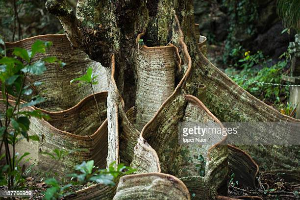 Looking-glass mangrove tree in jungle, Okinawa