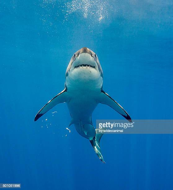 looks like jaws - great white shark stock photos and pictures