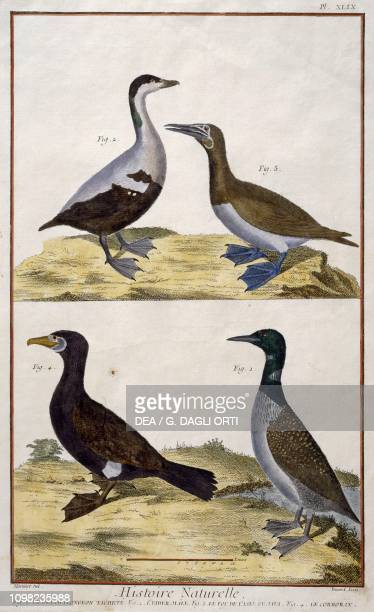 1 Loon 2 Male Eider 3 Javanese Brown Booby 4 Cormorant drawing by FrancoisNicolas Martinet engraving by Benard from Histoire Naturelle des oiseaux by...
