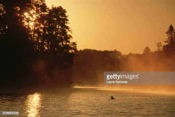 loon on lake silhouetted by golden sunlight - boundary waters canoe area stock pictures, royalty-free photos & images