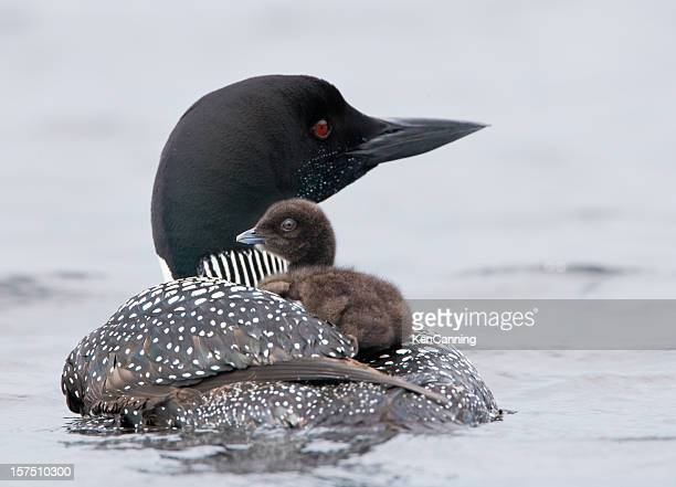 loon with chick - common loon stock pictures, royalty-free photos & images