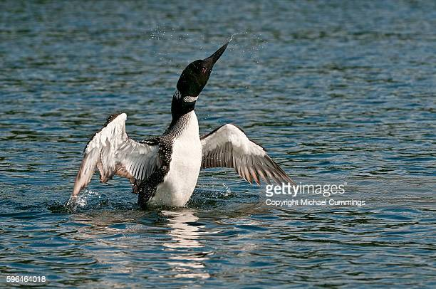 loon with wings outstretched - common loon stock pictures, royalty-free photos & images