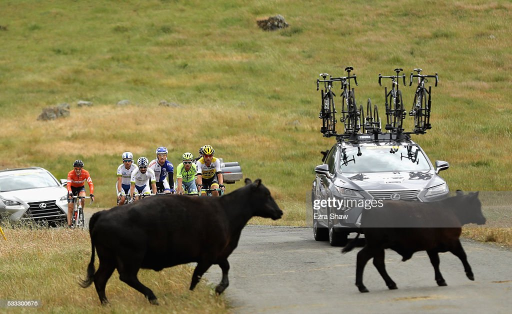 Loose cattle cross the road in front of a group of riders during Stage 7 of the Amgen Tour of California on May 21, 2016 in Santa Rosa, California.