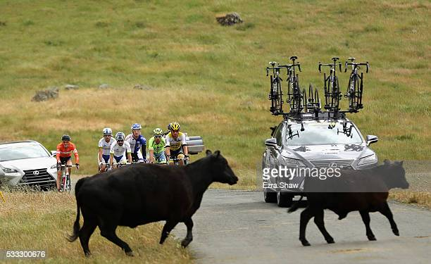 Loose cattle cross the road in front of a group of riders during Stage 7 of the Amgen Tour of California on May 21 2016 in Santa Rosa California
