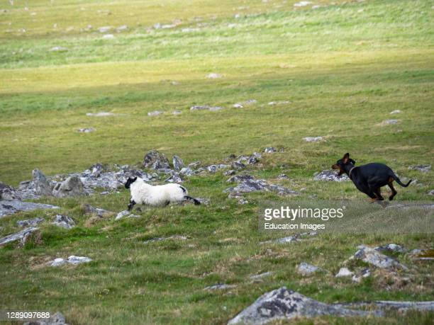 Loose dog chasing a sheep on Bodmin Moor, Cornwall, UK.