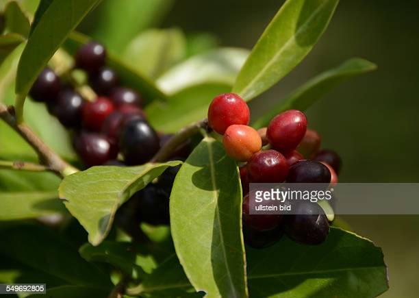 Lorbeer reifende und reife Fruechte des Kirschlorbeer Prunus laurocerasus Ligurien Italien