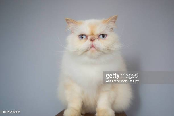 Lord Aries Cat