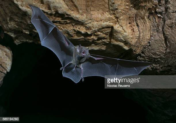 lord of te night - bat animal stock pictures, royalty-free photos & images