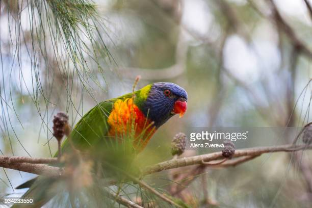 Lorikeet and the tree