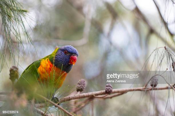 Lorikeet on the tree