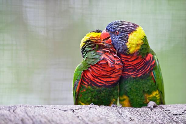 Lorikeets kissing