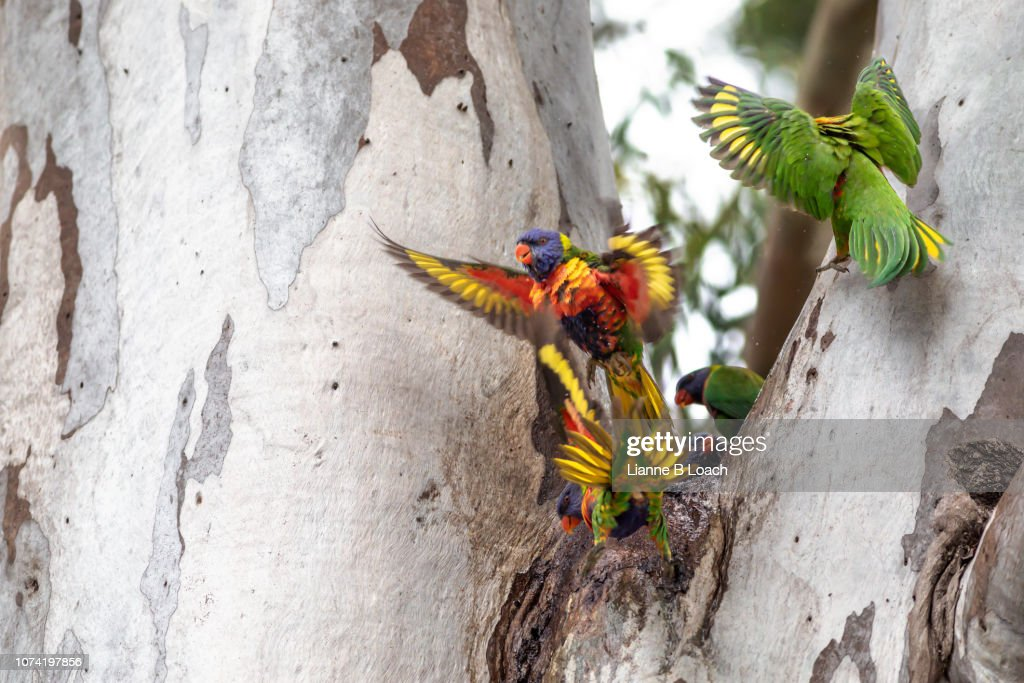 Lorikeets : Stock Photo