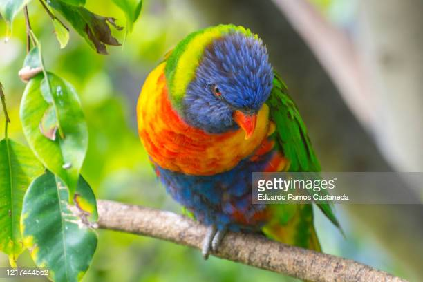loris arcoiris, parrot of many colors - beak stock pictures, royalty-free photos & images