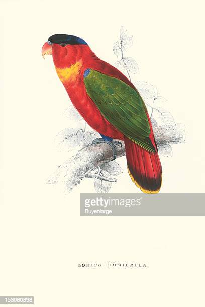Lorius Domicella or Purplenaped Lory 1831 From 'Illustrations of the Family of Psittacidae or Parrots' by Edward Lear