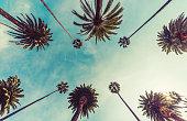 Los Angeles palm trees, low angle shot