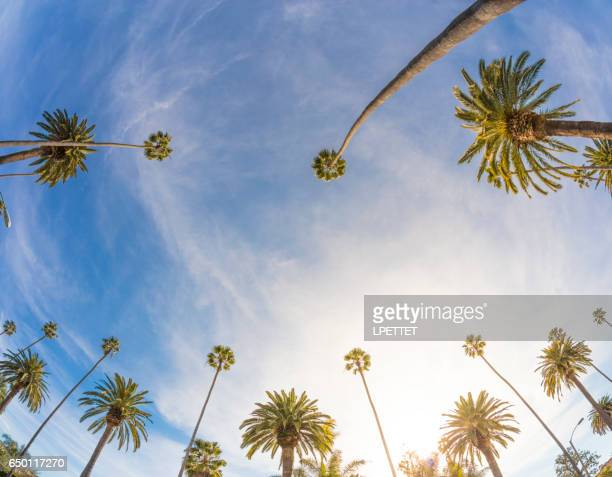 los angeles palm trees - beverly hills california stock pictures, royalty-free photos & images