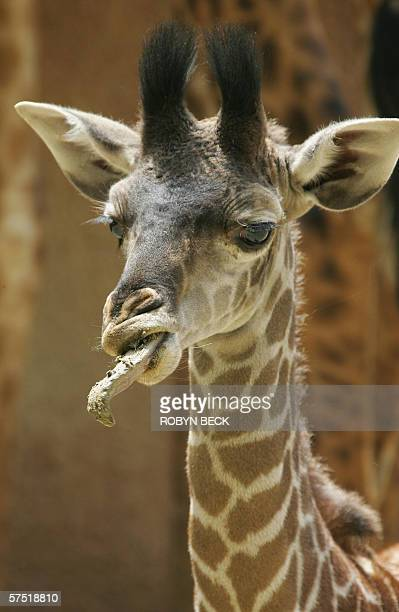 Baby giraffe Raha spits out dirt while eating on his debut day at the Los Angeles Zoo 02 May 2006 The six foot male was born at the zoo 04 April and...