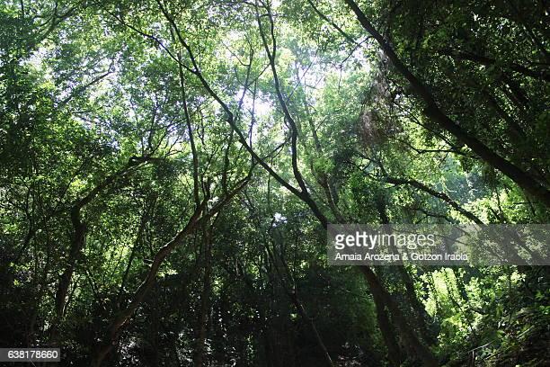 Los Tilos laurel forest in La Palma island, Canary islands. Spain.