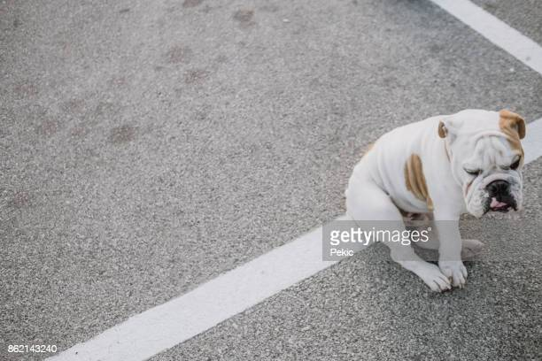 lost bulldog puppy waiting on parking lot - savage dog stock pictures, royalty-free photos & images