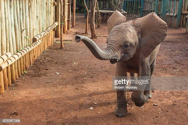 lost ellie - baby elephant stock photos and pictures