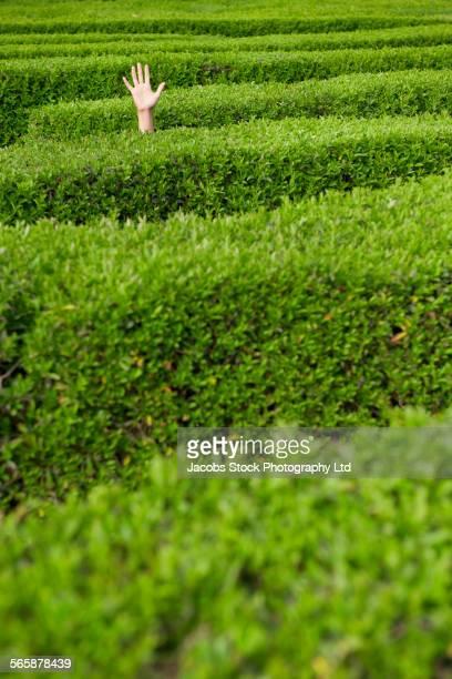 Lost Hispanic woman raising hand in hedge maze