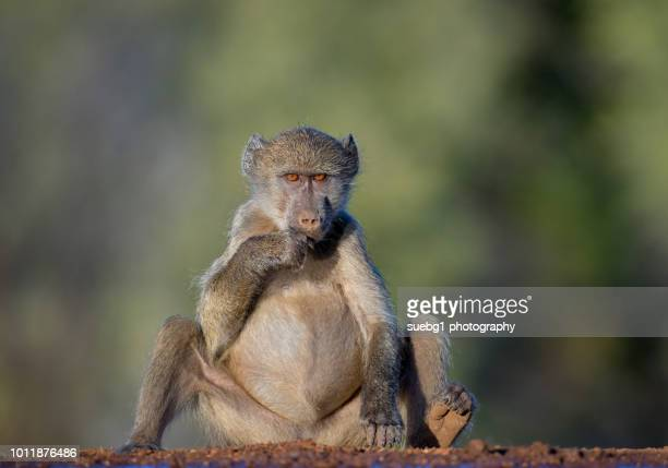 lost in thought - primate stock pictures, royalty-free photos & images
