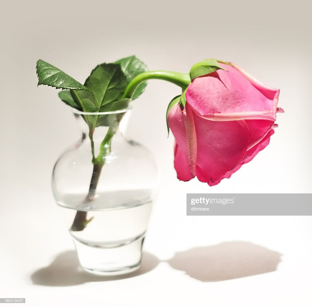 Verlorene Liebe Valentinstag Oder Nicht Als Wilting Rose. : Stock Foto