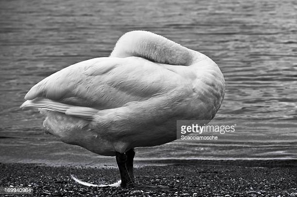 i lost my feather - ugly duckling stock photos and pictures