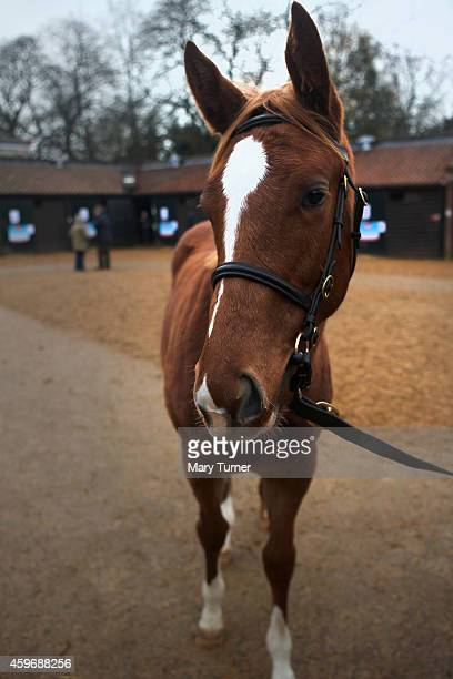 Lot Number 1087 an 8 month old chestnut filly waits patiently at Tattersalls Auctioneers where she is one of four foals sired by the legendary...