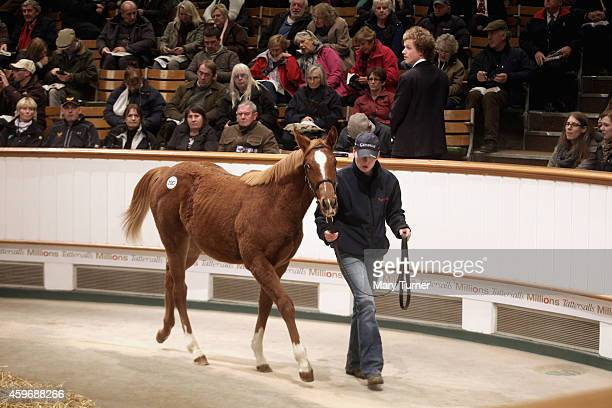 Lot Number 1087 an 8 month old chestnut filly walks around the sale ring with her stud hand at Tattersalls Auctioneers where the foal went on sale on...