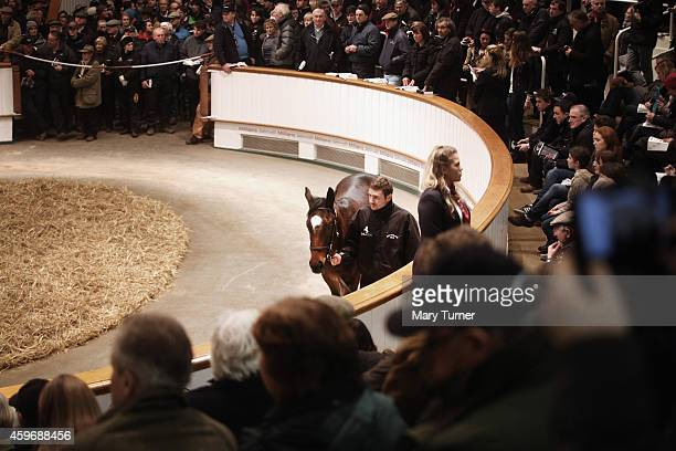 Lot Number 1103 fails to impress as he walks around the sale ring with his stud hand at Tattersalls Auctioneers where the foal went on sale on...